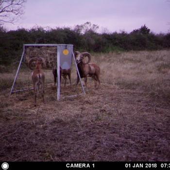 Texas Rams