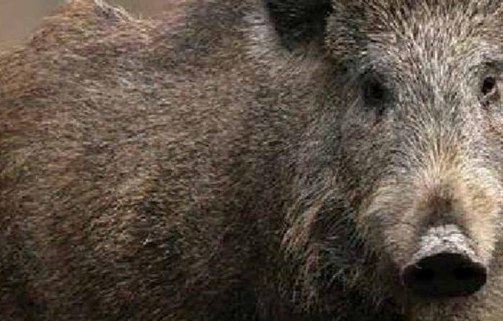 Are Wild Pigs Safe to Eat?