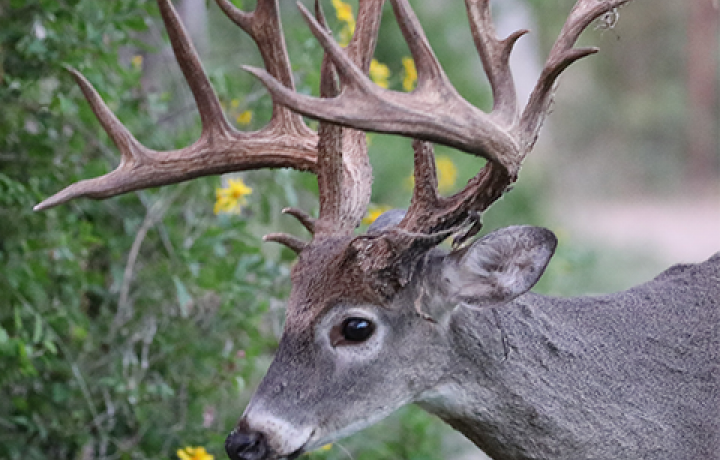 Feeding Deer in the Fall and Winter is Beneficial for Bucks, Does and Fawns