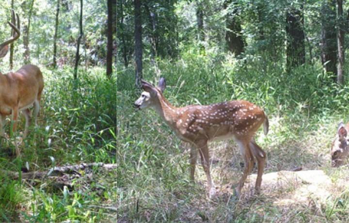 Deer of Texas